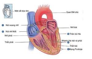 Bệnh cơ tim thường gây nên triệu chứng mất ngủ, khó ngủ cho người bệnh