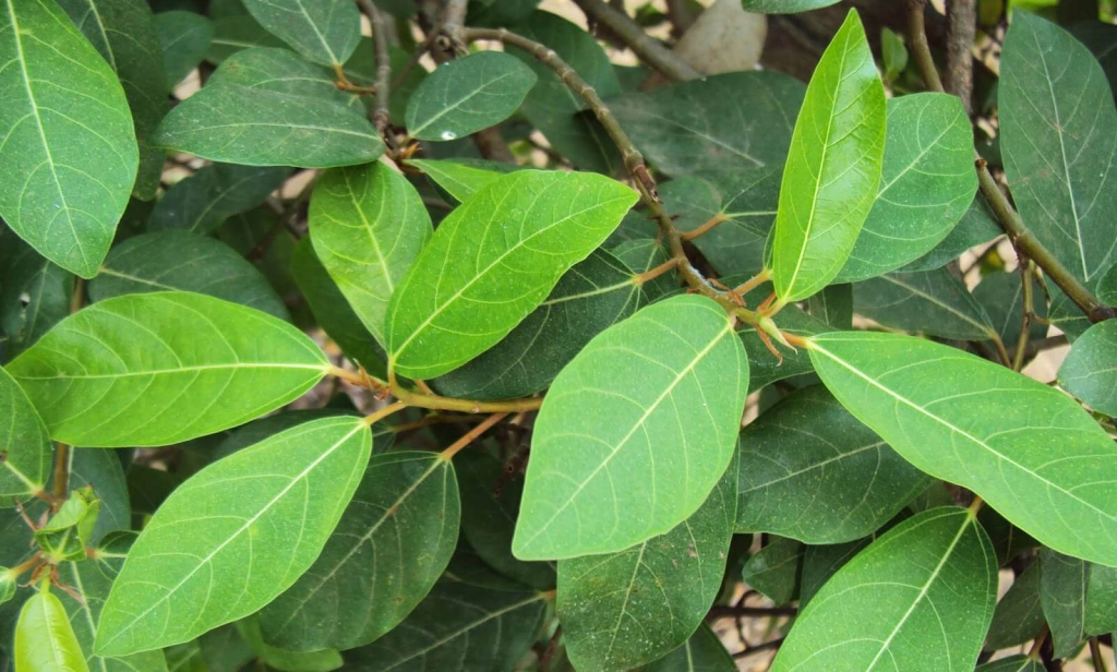 Xông hậu môn bằng lá sung và các loại lá khác