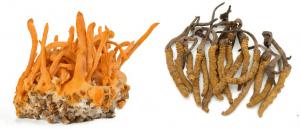 Hướng dẫn cách phân loại đông trùng hạ thảo